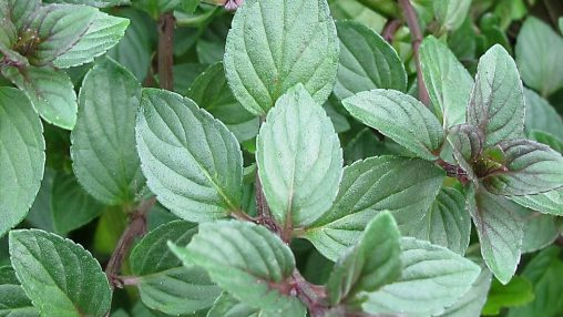 Natural Mint (INW)