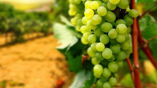 White Grape (PUR)